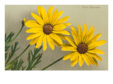 Yellow Marguerite Posters