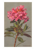 Rhododendron Print