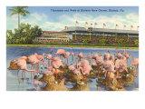 Flamingos, Hialeah Race Tack, Florida Poster