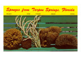 Sponges from Tarpon Springs, Florida Poster