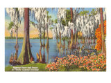 Cypress Trees, Florida Posters