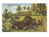 Galapagos Tortoises, Miami, Florida Posters