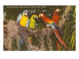 Macaws, Miami, Florida Stampa