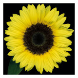 Sunflower Face Giclee Print by Pip Bloomfield