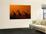 Giraffes Silhouetted at Twilight Wall Mural by Beverly Joubert