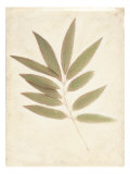 Bay Leaves Giclee Print by Amy Melious