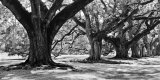 Majestic Oaks I Prints by Jeff Maihara
