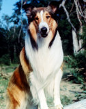 Lassie Photo