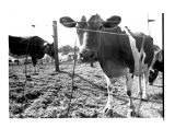 Cows Photographic Print by Jason Michaels