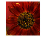 Sunflower II Photographic Print by Anna Miller