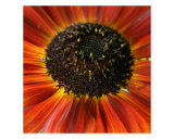 Sunflower Photographic Print by Anna Miller