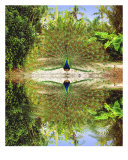 Peacock At Waters Edge Photographic Print by linda messier