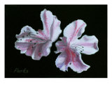 Two Pink Azaleas Giclee Print by Sarah Parks
