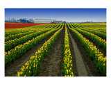 Tulip Rows Photographic Print by Rob German