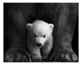 Ursa Major &amp; Minor Photographic Print by Robert Anthony