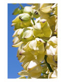 Yucca Flower Photographic Print by Mary Lane