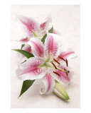 Pink Tiger Lilies Photographic Print by Simon Kayne