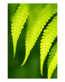 Fern Leaves Backlit Photographic Print by Flavio Coelho