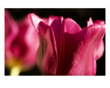 Pink Tulips Photographic Print by Mary Lane