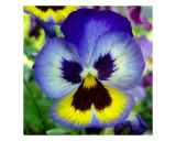 Blue And Yellow Pansy Photographic Print by Nancy Suzanne Mueller
