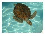 A Beautiful Turtle Photographic Print by Rae Anne Lawrason