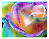 Artful Colorful Rose Photographic Print by Lorrie Morrison