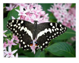Black And White Butterfly With Flowers Photographic Print by Sheila Mccrea