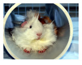 Cute Long Hair Guinea Pig In Tunnel Toy Photographic Print by Deborah Hullender