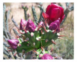 Pink Cholla Photographic Print by Jessica Jones