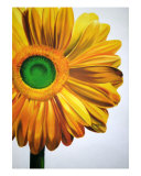 Yellow Gerber Daisy Giclee Print by Koree Gilbert