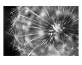 Dandelion Photographic Print by Scott Schofield