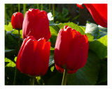 3 Red Tulips Photographic Print by Phil Rusher
