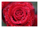 Rose Photo In Rain Photographic Print by William Luo