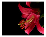 Stargazer Lily Photographic Print by Beverly Mcqueen
