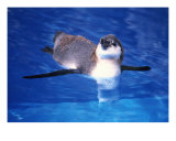 Baby Humbolt Penguin-2 Photographic Print by Tomas del Amo