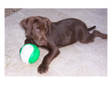 Chocolate Lab Puppy Photographic Print by Jacqueline Smith
