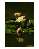 Water Lily Reflections Photographic Print by Frank Tozier