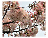 Cherry Blossom Branch Photographic Print by Lorrie Morrison