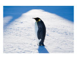 Emperor Penguin Photographic Print by David Schultz