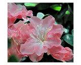 Fantasy Azalea Glow Photographic Print by Lorrie Morrison
