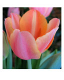 Pastel Tulip Photographic Print by Sandy Cohen
