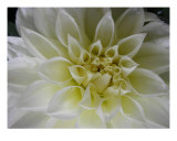 White Dahlia Photographic Print by Laura-ann Quinones