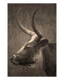Texas Longhorn Photographic Print by Paul Huchton