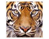 Tiger Face (In Color) Photographic Print by Brian Pfaltzgraff