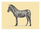 Zebra Photographic Print by Dirk Dzimirsky