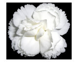 White Carnation Flower Black Background Photographic Print by Dmitry Raguimov