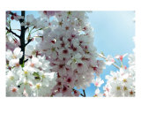 Cherry Blossom Glow Photographic Print by Lorrie Morrison