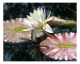 Water Lily 1 Photographic Print by Ron Kroeker