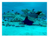 Manta Ray Reef Photographic Print by Walter Colvin