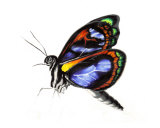 The Butterfly Giclee Print by Francis Smith